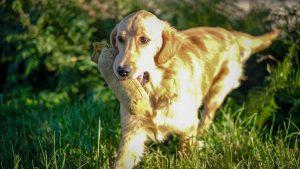 NOVICE DOG NOVICE HANDLER SPECIAL PUPPY WORKING TESTS